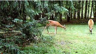 Deer Fight  Doe checks scrape and licking branch in July