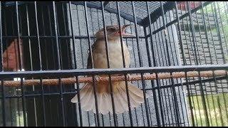 suara burung cililin kenari kapas tembak pleci untuk Masteran isian