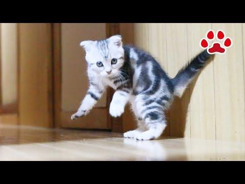 廊下を駆け回る姿がかわいい仔猫ありす-alice
