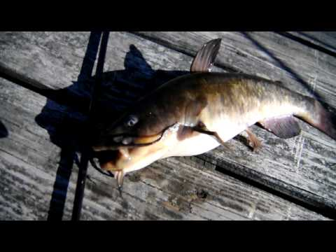 Video Maneater catfish