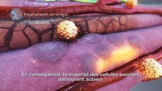 Muscle et cellules souches: Réparation lors d'une maladie chronique