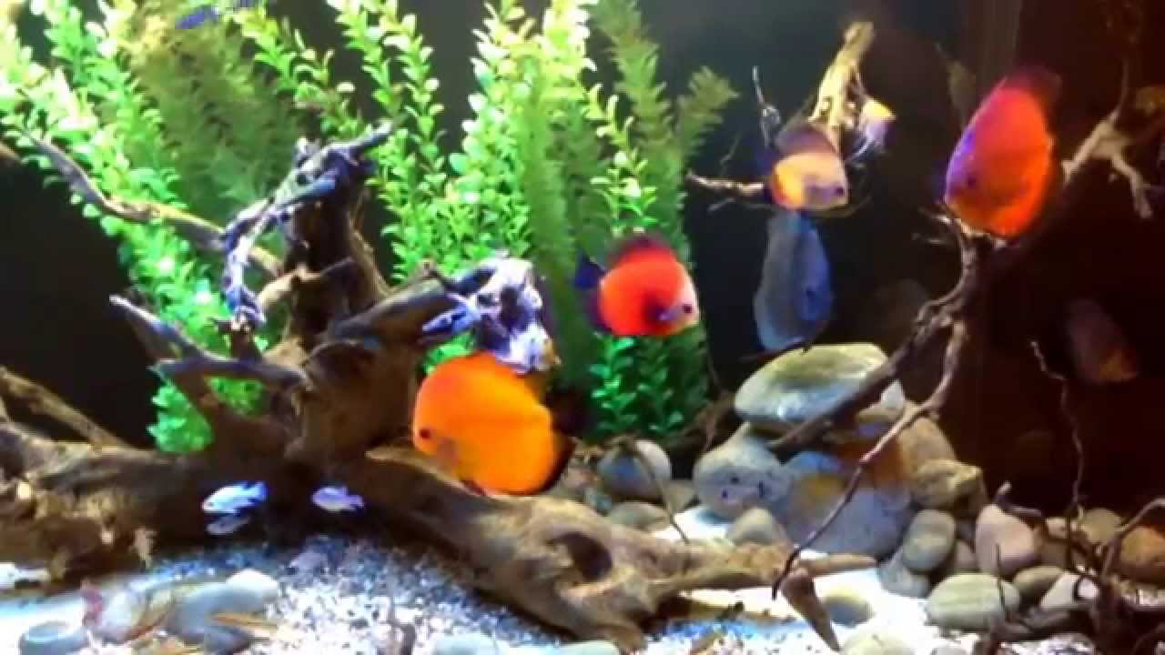How To Care For Discus Fish Youtube