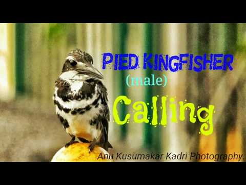 Pied Kingfisher (male)Ceryle Rudis Calling