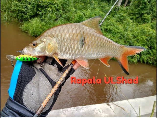 Ultralight Fishing-Hampala gorong-gorong part 7 (7-7)-Rapala ULShad