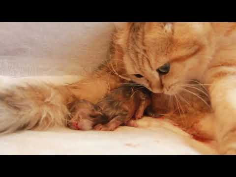 How a Golden Cat GIVES BIRTH to kittens? | CLOSE-UP | Newborn Kittens
