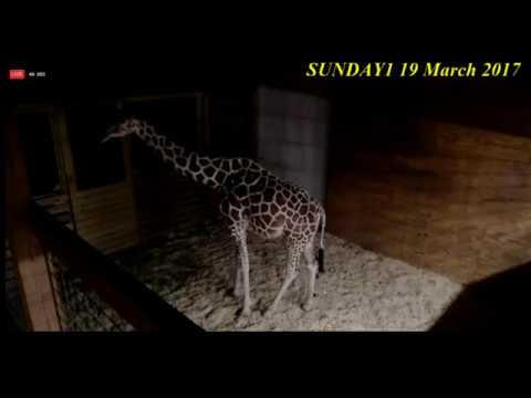 Watch Live: Zookeepers Seeing 'Significant Baby Kicks' in April the Giraffe - All of vines