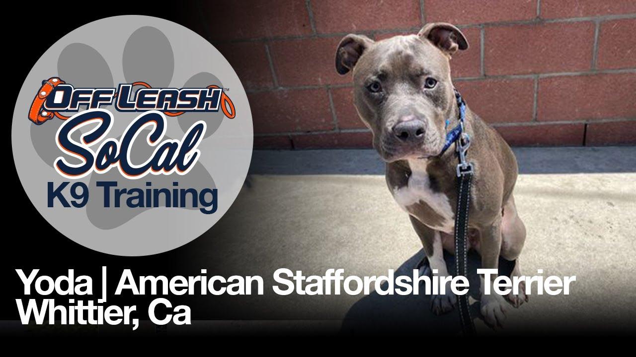 Yoda   American Staffordshire Terrier   Whittier, Ca