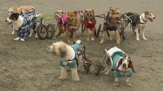 Перуанка помогает выжить больным и покалеченным бездомным собакам (новости)