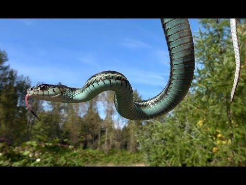 Puget Sound Garter Snakes 2017
