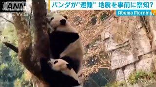 中国・四川省 パンダが地震を事前察知か(19/12/11)