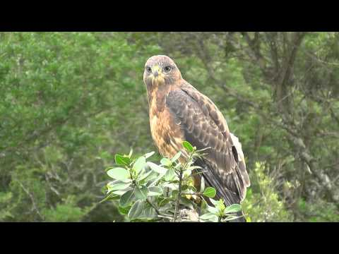 SOUTH AFRICA birds of prey san parks (hd-video)