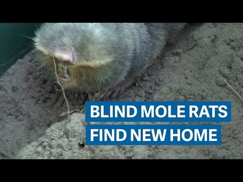 This cute mole rat may go extinct beneath Hungary's refugee fence