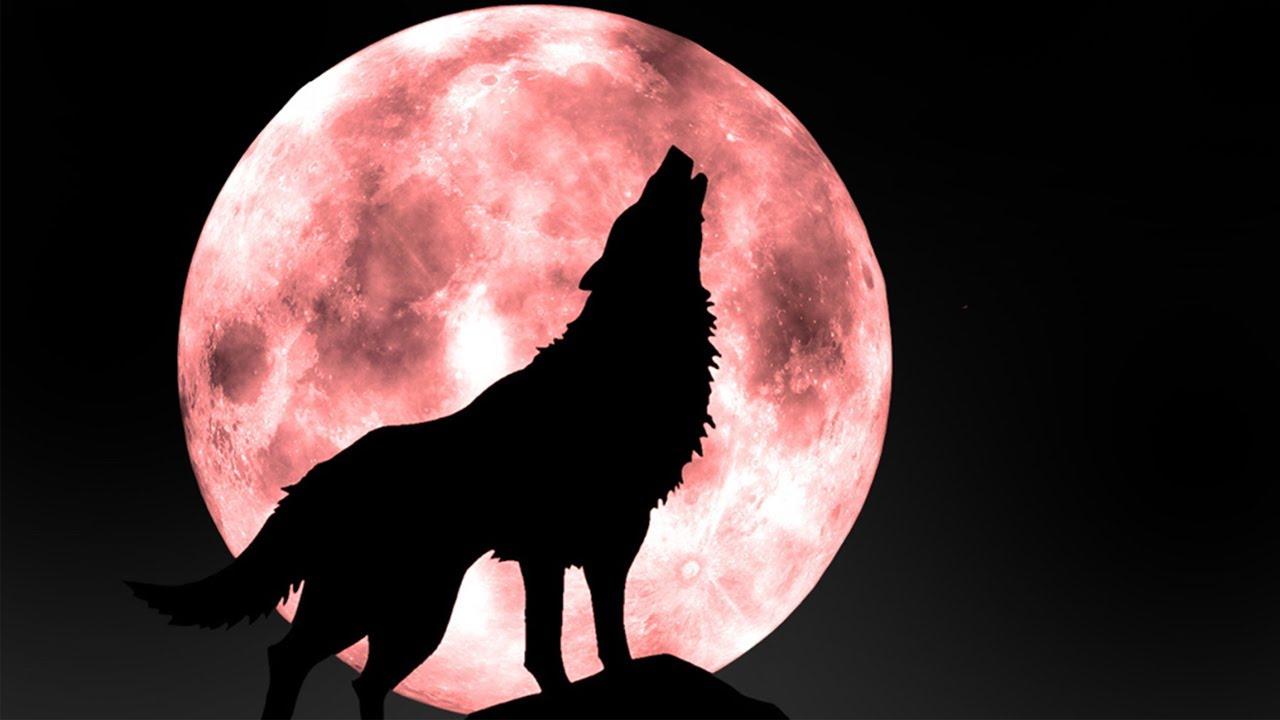suara binatang serigala  hewan suara untuk anakanak