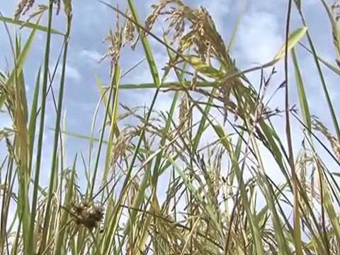 Video SRI bassin arachidier SENEGAL/ANCAR