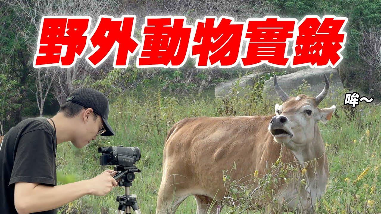 【英雄日常】EP68 在台灣看到非洲大遷徙!