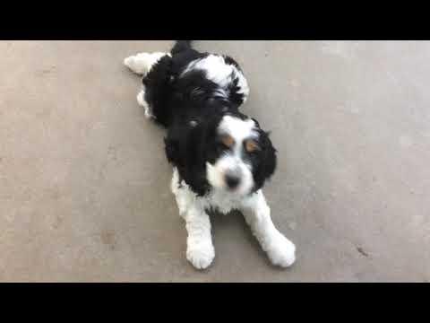 PuppyFinder.com : SPRINGERDOODLE PUPS AT PLAY!