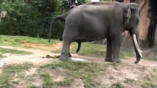 Best Elephant Pee And POO
