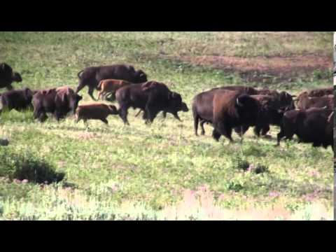 Bison Stampede - Yellowstone