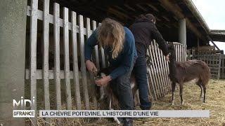 ANIMAUX : La chèvre poitevine, l'histoire d'une vie