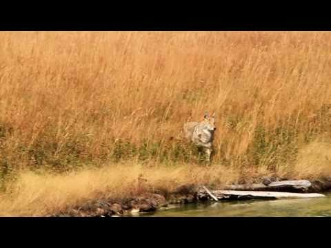 Yellowstone coyote vs field mice