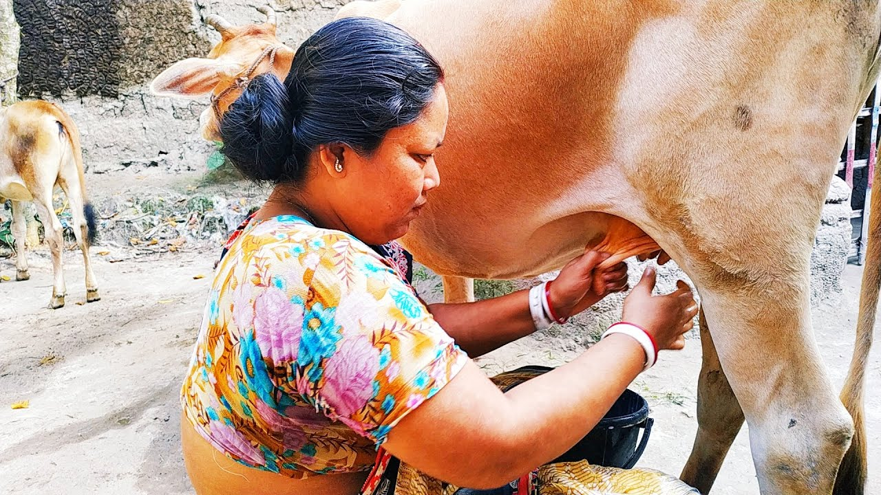 Download Village woman milking cow by hands   Milking cows   Cow milking by hand