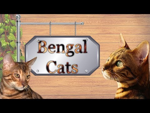 Bengal Cats | Interesting Facts About The Bengals, The Exotic Cat Breed