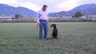 6 Month Old Doberman Puppy Working Obedience