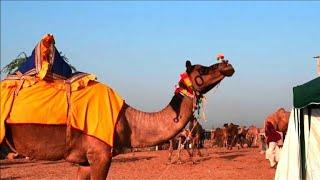 Ouverture de la foire aux chameaux de Pushkar, en Inde