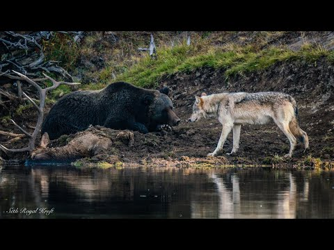 Yellowstone grizzly 791 defends elk kill from grey wolf