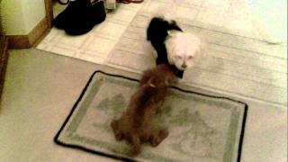 Cavalier Puppy Meets A Maltese