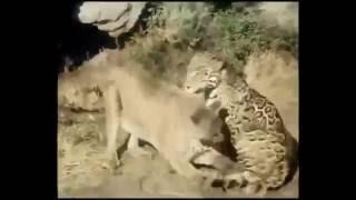 Puma vs Jaguar / Ягуар против Пумы