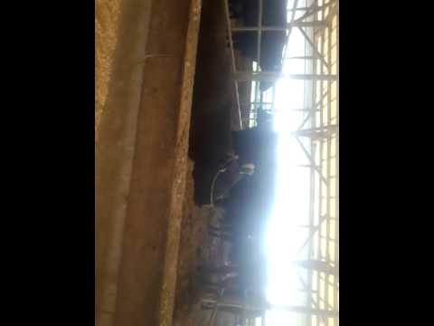 牛のいびき