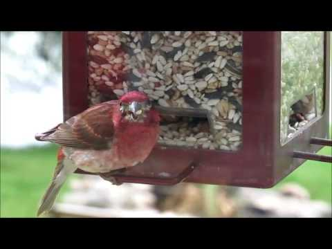 Closeup Video of Purple Finch Eating at a Feeder