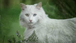 Кошка с глазами разных цветов. Ангорская кошка. Белая кошка.