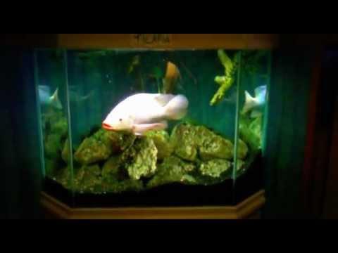 Massive tilapia fish stuck in a small tank youtube for Tilapia aquarium