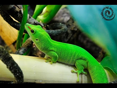 Дневной мадагаскарский геккон . Содержание
