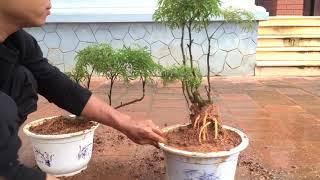 Đinh Lăng Bonsai : Hướng dẫn trồng Đinh Lăng trên chậu