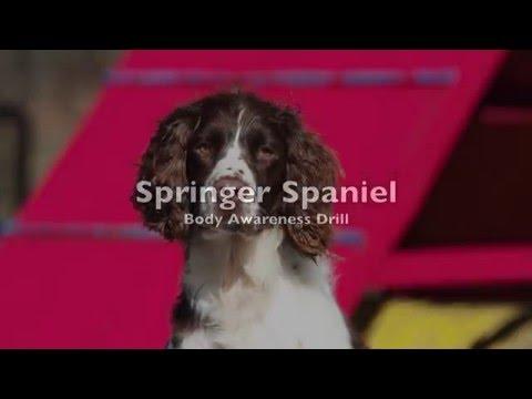Springer Spaniel Body Awareness Drill