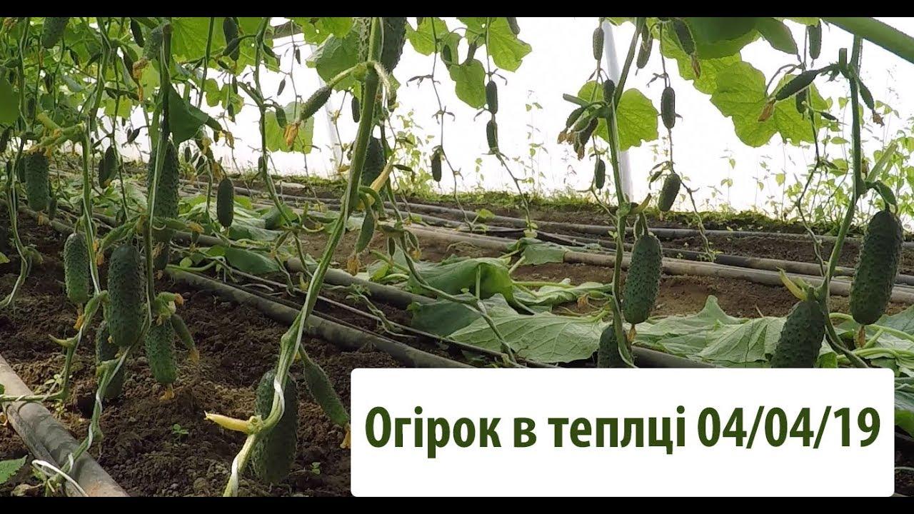 Вирощування огірків сорту Чайковський в теплиці станом на 04.04.19