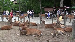 奈良公園~奈良駅 Nara Park~Nara Station (Japan) thumbnail