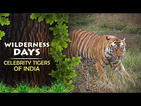 Celebrity TIGERS Of India - Wilderness Days - Episode 15 - Promo