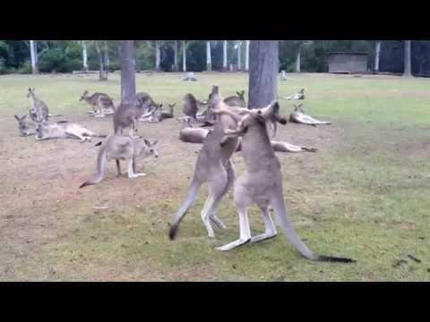 Как дерутся кенгуру в Австралии