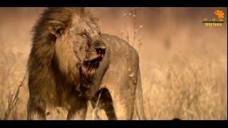 Wild Fauna / Битва прайдов / Lion Kingdom / 3-Кровная вражда