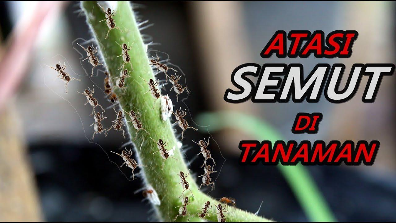 Cara Mudah Atasi Semut pada Tanaman Cabe Terong Tomat