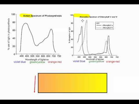 Photosynthesis Part 6   Action vs  Absorption Spectrum IB Biology