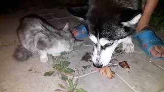 Хаски и кот вместе едят. Война войной, а обед по расписанию! | Husky and the cat eat together