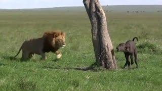 【弱肉強食】ライオンが孤立するバッファローの子を襲う 【関連動画】 ...