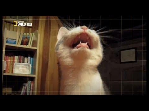 ДИКАЯ СТОРОНА КОШЕК. NATIONAL GEOGRAPHIC - WILD SIDE OF CATS HDTV (ДОКУМЕНТАЛЬНЫЕ ФИЛЬМЫ FOR YOU)