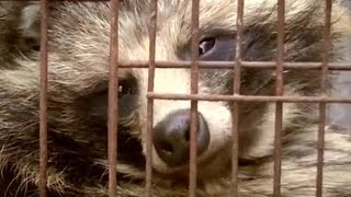 the Chinese fur farms which breed 'raccoon dogs' in tiny cages and skin them alive ..