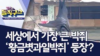 [핫플]세상에서 가장 큰 박쥐 '황금볏과일박쥐' 등장?…